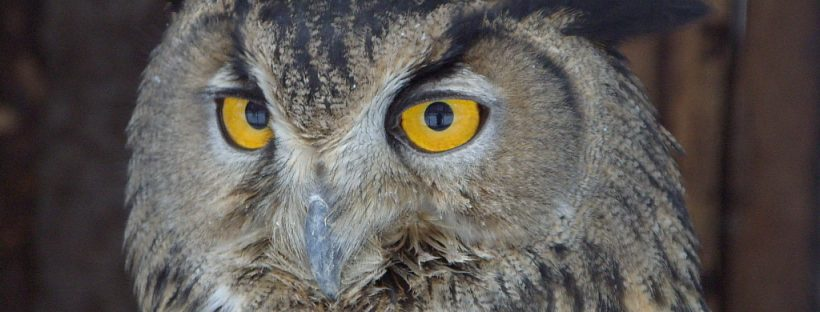 An owl. Probably not the Duolingo one, but I'm sure they're friends. (Image from freeimages.com)