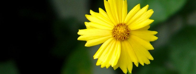 A picture of a little yellow flower. Image from freeimages.com