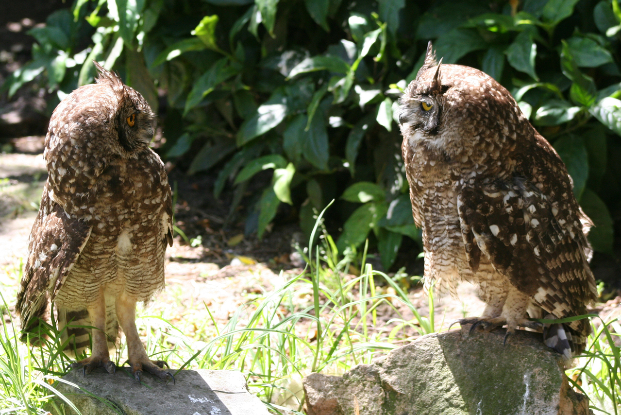 Owls chatting. Photo by Ross Dismore, freeimages.com